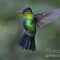 Fiery-throated Hummingbird..