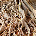 Fig Tree Roots in Balboa Park
