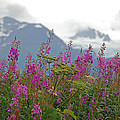 Fireweed by Jim Cook
