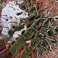 Fish Hook Barrel Cactus with Snow Print by Susan  Degginger