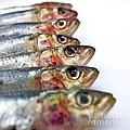 Fishes by Bernard Jaubert