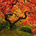 Flaming Maple by Darren  White