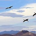 Flight Of The Sandhill Cranes by Mike  Dawson