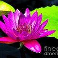 Floating Purple Water Lily by Nick Zelinsky