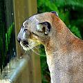 Florida Panther by Amanda Vouglas