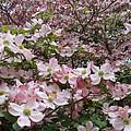 Flourishing Pink Magnolias by Deborah  Montana