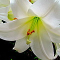 Flower Christmas Lily. by Joyce Woodhouse