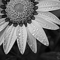 Flower Water Droplets by Ron White