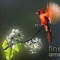 Flying Cardinal Landing On Branch by Dan Friend