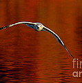 Flying Gull On Fall Color by Robert Frederick