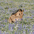 Foal In The Lupine by Carol Walker