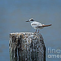 Forster's Tern by Louise Heusinkveld