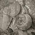 Fossilized Shell - B And W by Klara Acel