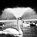 Fountain Swan by Shane Holsclaw