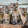 Four Fox Kits by Paul Freidlund