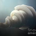 Fractal Seashell  by Pixel  Chimp
