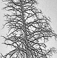 Fractal Tree Abstract by Steve Ohlsen