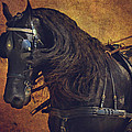 Friesian Under Harness by Lyndsey Warren