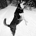 Frolicking In The Snow - Black And White by Carol Groenen