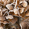 Frosted Hydrangea by Anne Gilbert