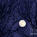 Full Moon Bare Branches by Thomas R Fletcher