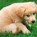 Fuzzy Golden Puppy by Christina Rollo