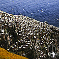 Gannets At Cape St. Mary's Ecological Bird Sanctuary by Elena Elisseeva