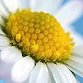 Garden Daisy by Natalie Kinnear