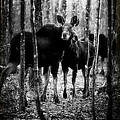 Gathering of Moose Print by Bob Orsillo