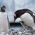 Gentoo Penguin With Chick Begging by Konrad Wothe
