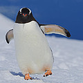 Gentoo Waddle by Tony Beck