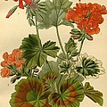 Geraniums Print by Philip Ralley