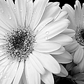 Gerber Daisies In Black And White by Jennie Marie Schell