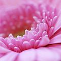Gerbera Daisy Flower - Pink by Natalie Kinnear