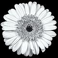 Gerbera Daisy Monochrome by Adam Romanowicz