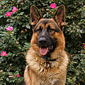 German Shepherd Dog by Sandy Keeton
