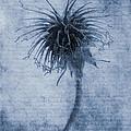 Geum Urbanum Cyanotype by John Edwards
