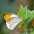 Giant Orange Tip Butterfly by Jane Rix