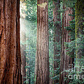 Giant Sequoias In Early Morning Light by Jane Rix