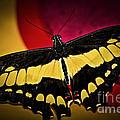 Giant Swallowtail Butterfly by Elena Elisseeva