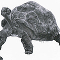 Giant Tortoise by Lucy D