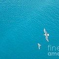 Gliding Seagulls by Jacqueline Athmann
