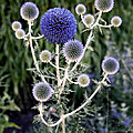 Globe Thistle by Rona Black