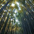Golden Bamboo Forest by Aaron S Bedell