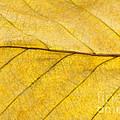 Golden Beech Leaf by Anne Gilbert