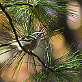 Golden-crowned Kinglet by Christina Rollo