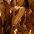 Golden Harvest by Charlene Palmer