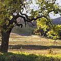 Golden Oaks by Sharon Foster