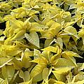 Golden Poinsettias by Catherine Sherman