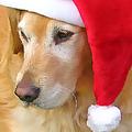 Golden Retriever Dog In Santa Hat  by Jennie Marie Schell